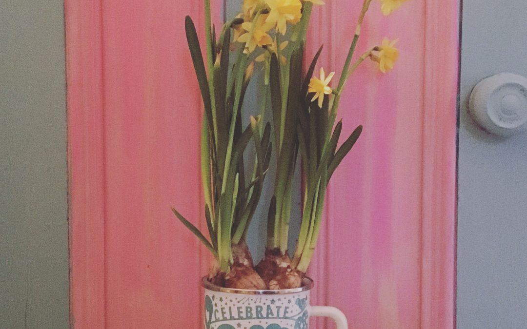 planted daffodils